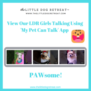 Small dog daycare, little dog daycare, dog daycare, small dog boarding, little dog boarding, lynnwood wa, taking dogs, app